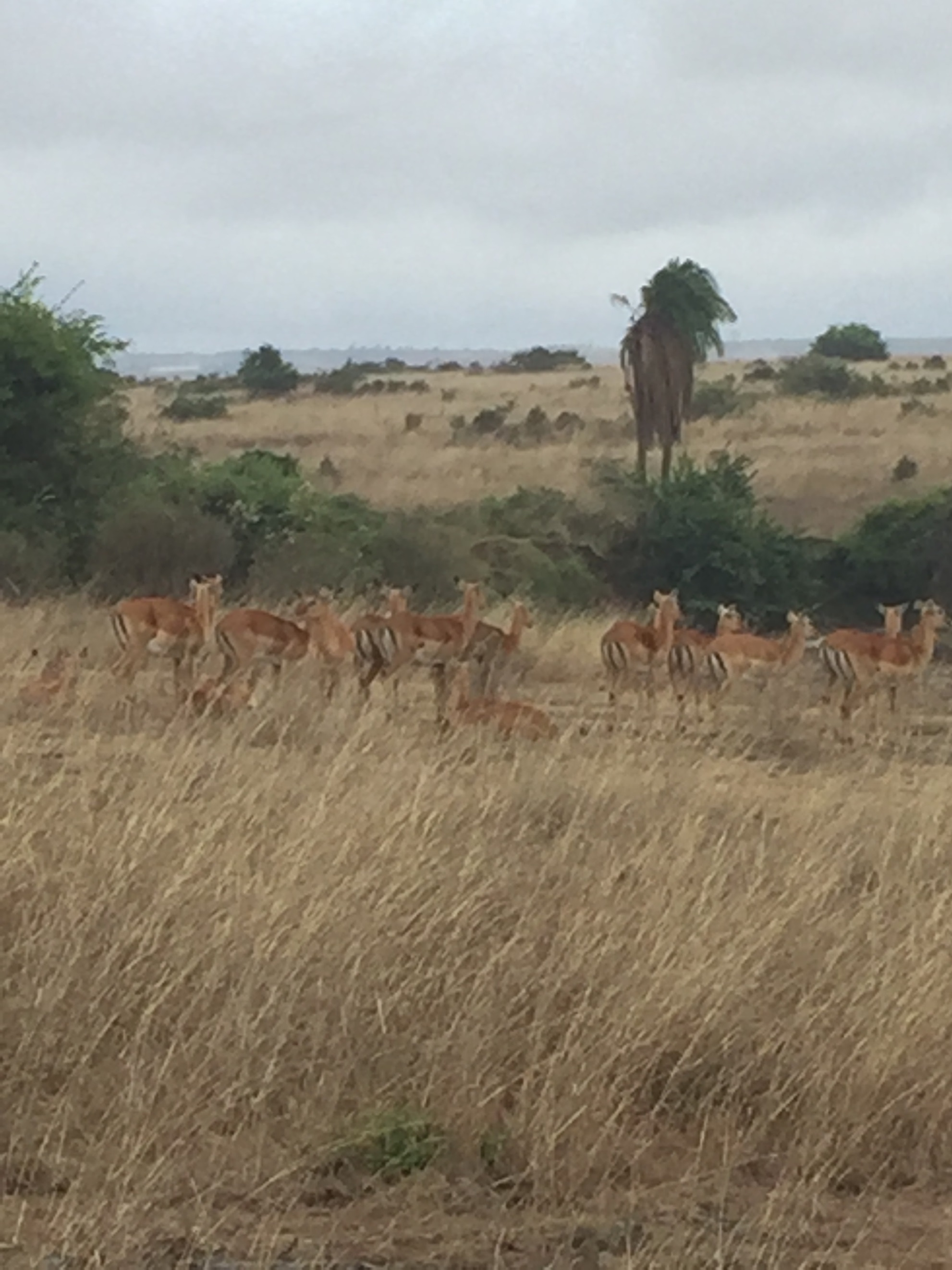 Gazelles. Looks like a painting.